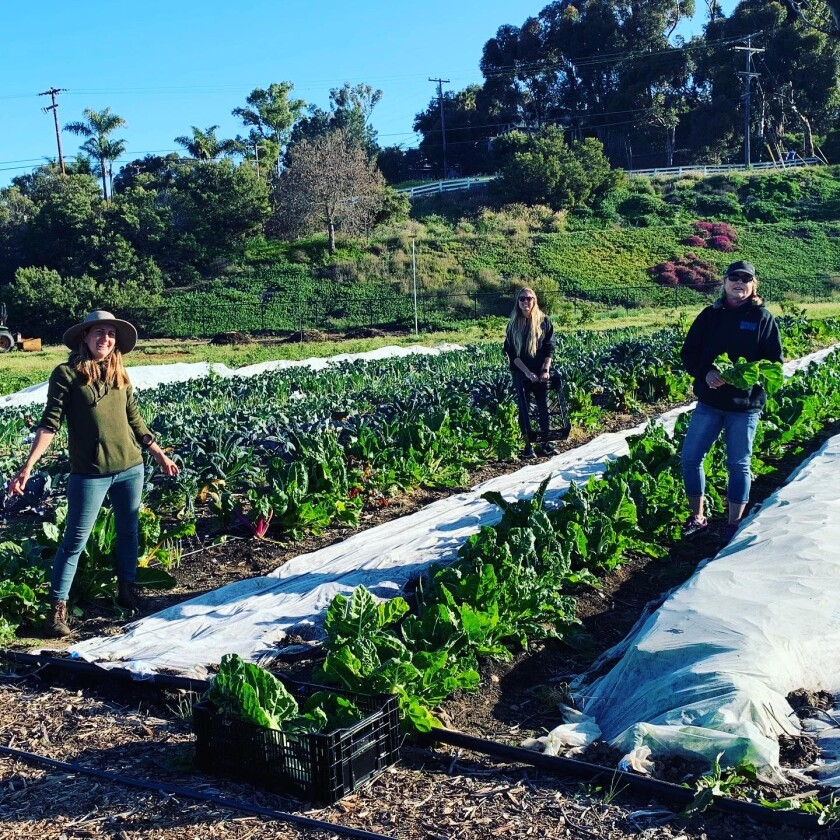 The Farm Lab is harvesting produce to share with Encinitas families.