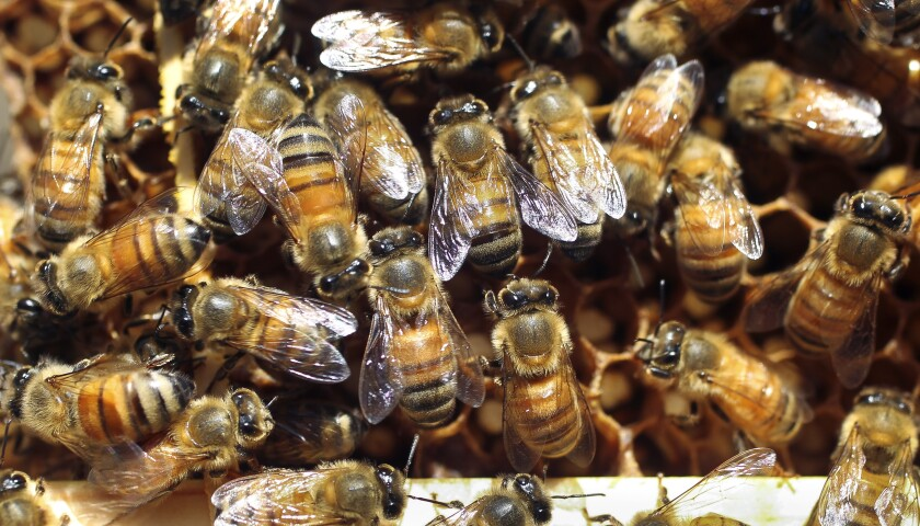 Bees crawl on a comb pulled out of a hive by beekeeper Dave Felker at his Elfin Forest home on Friday.