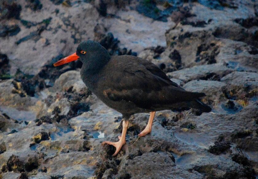 A very conspicuous shorebird, the oystercatcher is entirely black with a bright red bill. It is commonly on the lookout for mussels, limpets and chitons along the rocky shore.