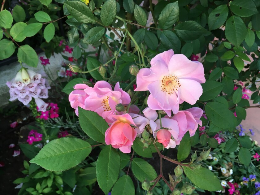 Good For The Rose Garden Integrated Pest Management The San