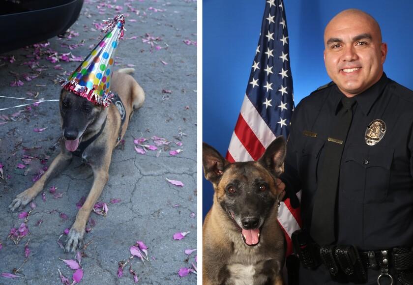 Retired K-9 Officer Sarge, a 7-year-old Belgium Malinois, and human partner Cpl. Joe Hernandez.
