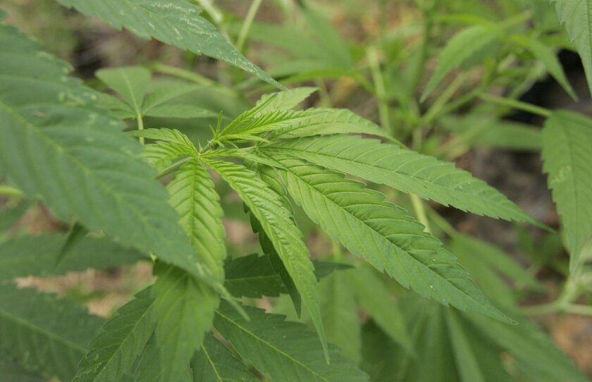 The San Diego City Council put a proposed tax on recreational marijuana on the November ballot.