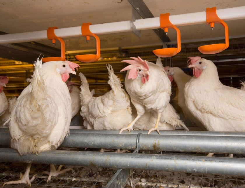 Laying hens at the Enriched Colony Barn, which provides 116.4 square inches per hen at JS West Farms in Atwater.