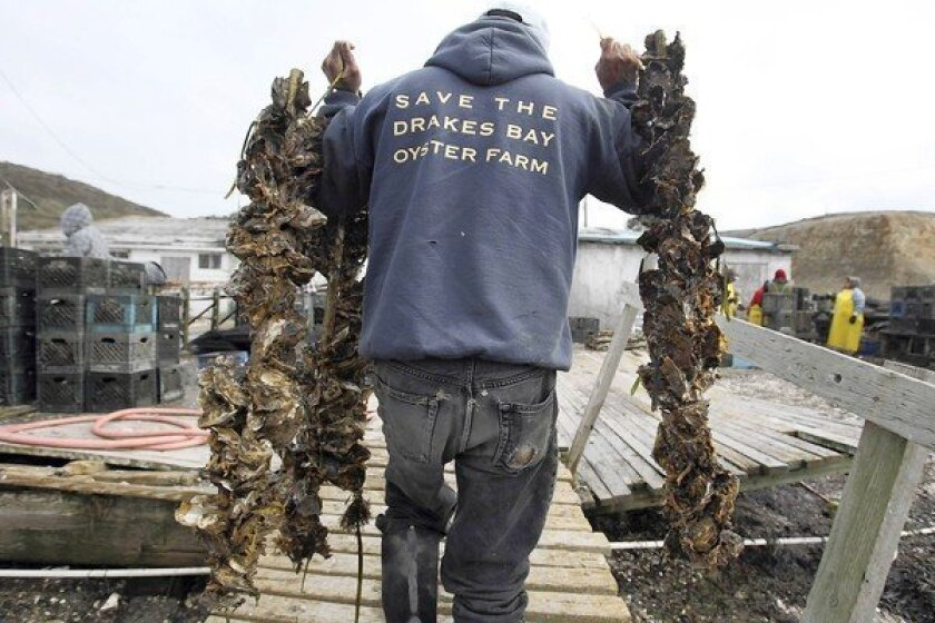 Drakes Bay Oyster Co. worker Jorge Mata carries strings of the shellfish at the farm, which operates in the Point Reyes National Seashore.