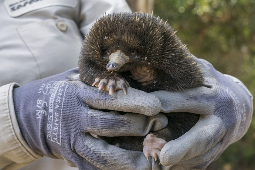 An echidna baby at the San Diego Zoo Safari Park