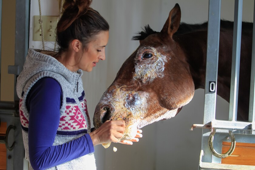 Veterinarian Korin Potenza feeds a banana to Conquest Typhoon, a horse that was burned during the Lilac fire at the San Luis Rey Training Center.