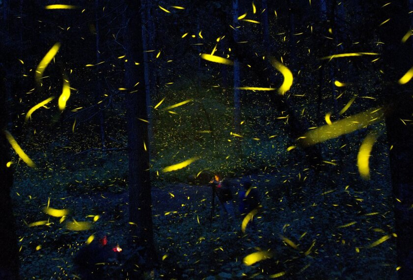 In this July 21, 2016 photo, fireflies seeking mates light up in synchronized bursts as photographers take long-exposure pictures, inside Piedra Canteada, a tourist camp cooperatively owned by 42 local families, inside an old-growth forest near the town of Nanacamilpa, Tlaxcala state, Mexico. The f