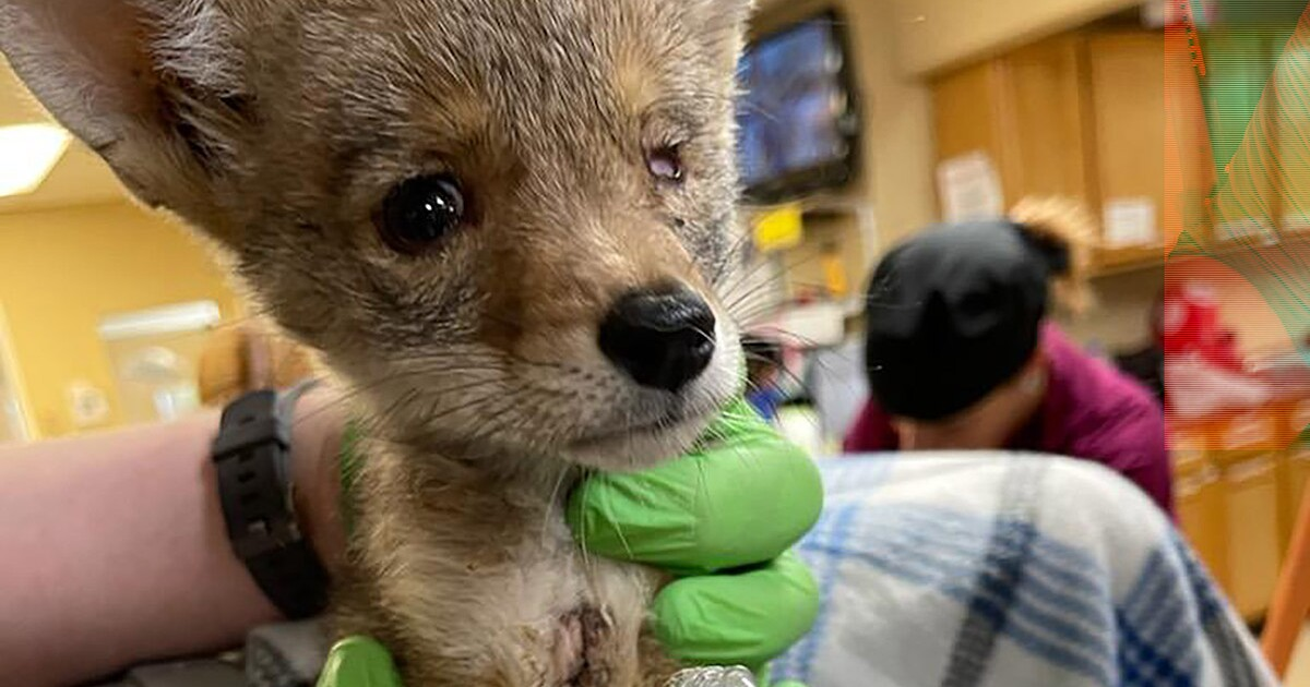 Battered coyote pup rescued by hikers in Palm Springs is on road to 'extraordinary recovery'