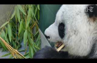 Panda patriarch Gao Gao leaves San Diego Zoo to return to China