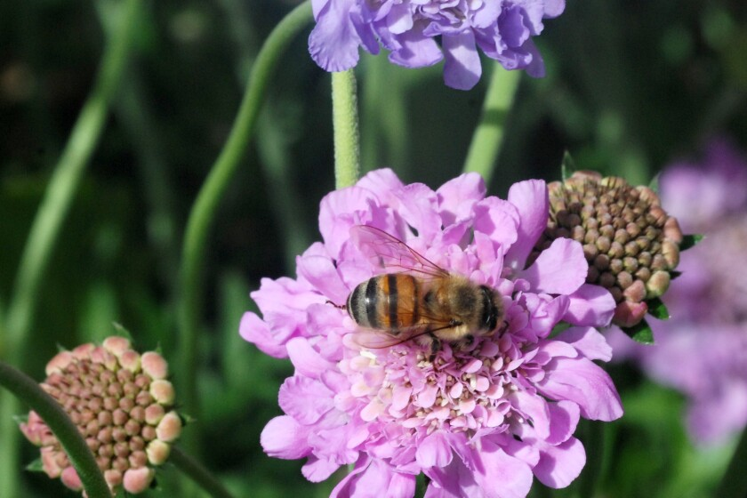 A bee pollinates a pincushion flower.