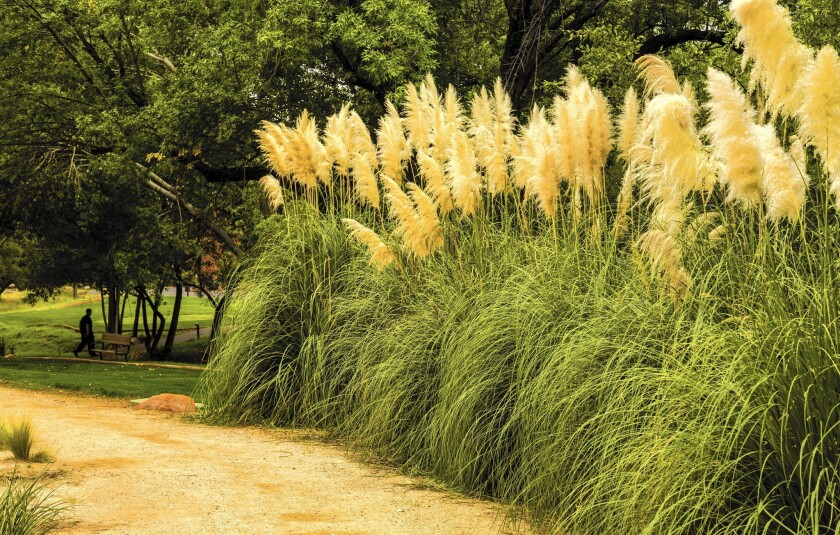 Pampas grass is among the invasives being targeted for removal from nurseries.