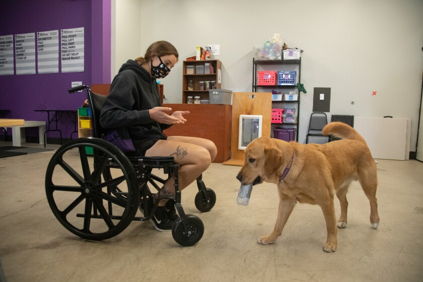 A golden Labrador in service dog training brings a water bottle to someone sitting in a wheelchair