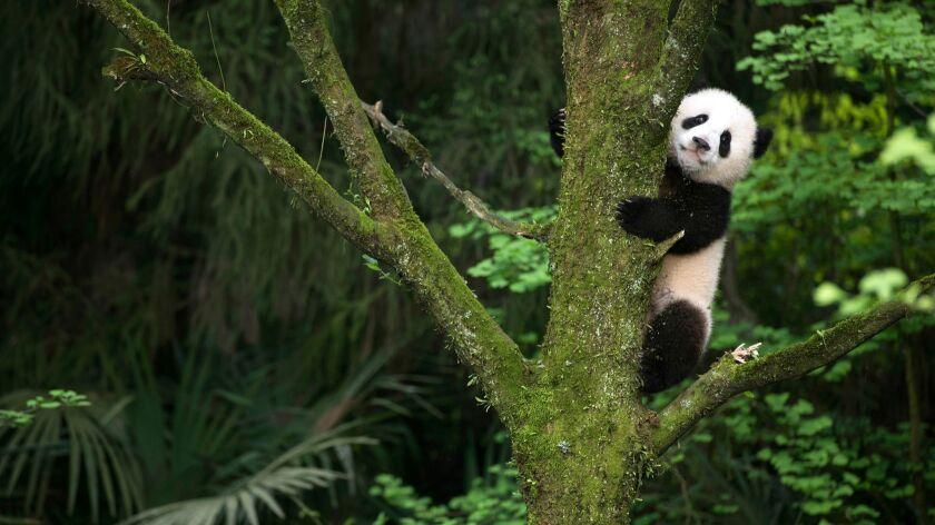 En esta imagen difundida por Warner Bros. Pictures, un cachorro de panda gigante en una escena del d