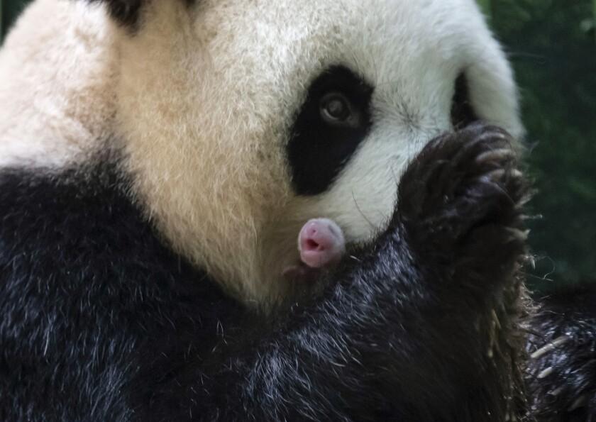 Esta fotografía publicada por el zoológico de Beauval muestra a la panda Huan Huan