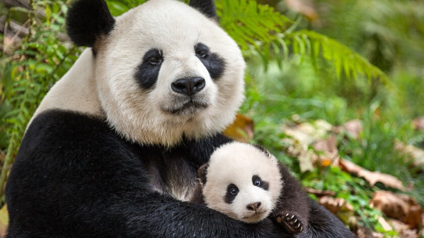 "Pandas Ya Ya and Mei Mei in the documentary ""Born in China."""