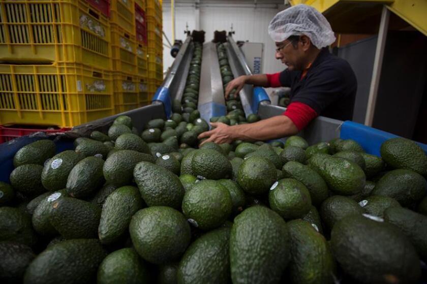Datos de la Cámara de Industria y Comercio México-Costa Rica (Cicomex), antes de la prohibición, señalaban que de las 15.000 toneladas anuales de aguacate hass que se consumían en Costa Rica, 12.000 provenían de México. EFE/Archivo