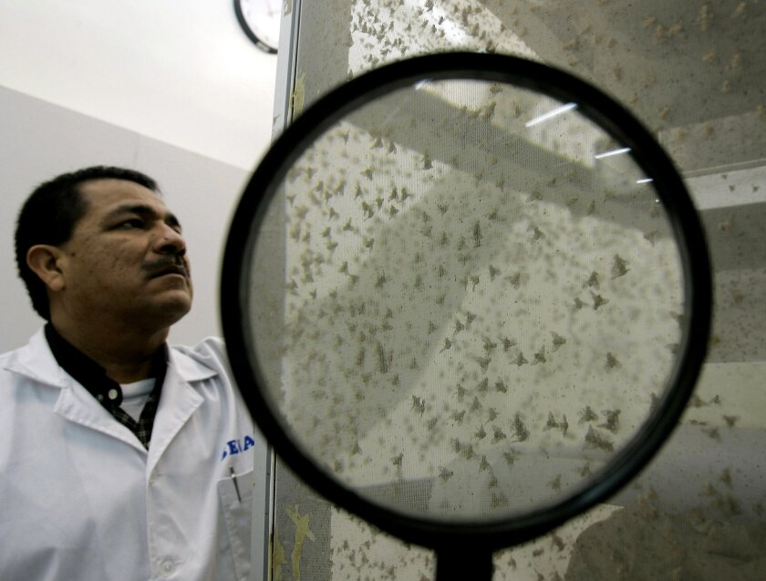 FILE - In this Sept. 22, 2006 file photo, fruit flies are observed at the Agrarian Health Service in Lima, Peru. For a long time, the debate has gone on: Does size matter to females? Biologists now say, definitively, that it does. Among fruit flies. (AP Photo/Martin Mejia,File)