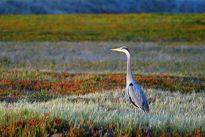 A great blue heron in the Ballona Wetlands
