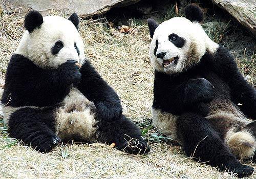 la-pandas1-itudt9nc