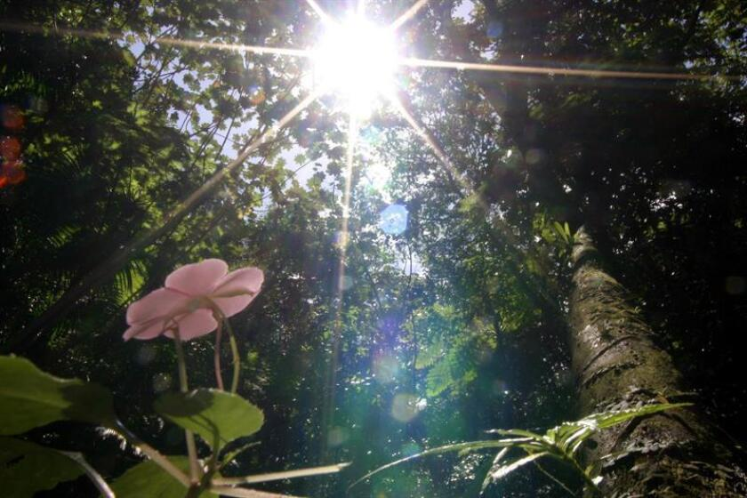 """Imagen de la flor """"miramelinda"""" en el Bosque Nacional El Yunque. EFE/Archivo"""