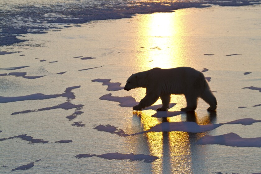 Polar bears, which spend most their time at sea, are classified as a vulnerable species because climate change threatens their habitat.