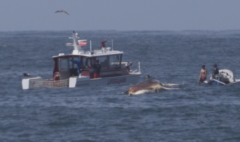 San Diego lifeguards attach a whale carcass to their boat off Mission Beach