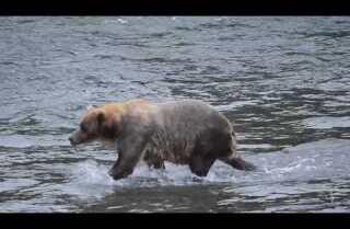 A minute away: Bathing bears, falling man, Naknek Lake, Alaska