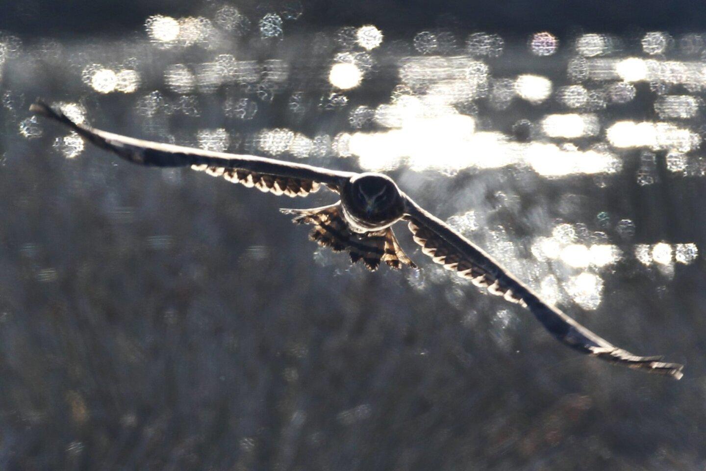 Harrier hawk hunting on high tide