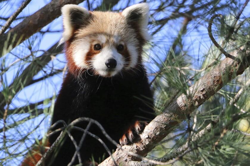 France Red Panda
