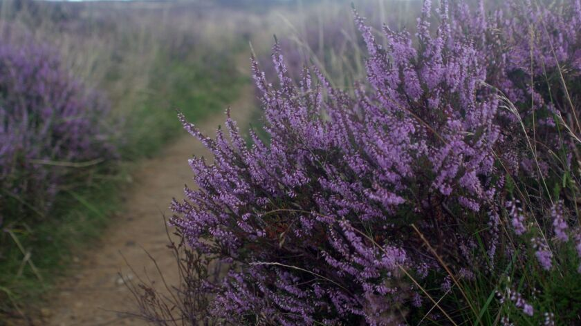 Heather blankets the North York Moors with dainty purple flowers in August. CREDIT: Carl Meuser