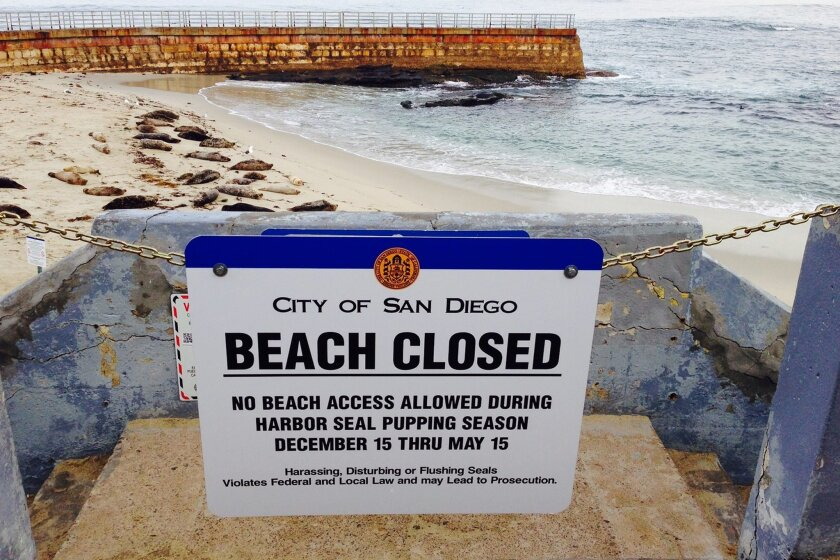 City of San Diego had posted the Beach Closed sign  at the Childrens Pool for harbor seal pupping season December 15 thru May 15.