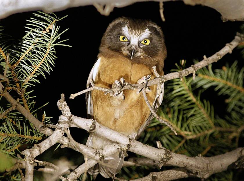 At night in the San Gabriels, venturing into the world of the owls
