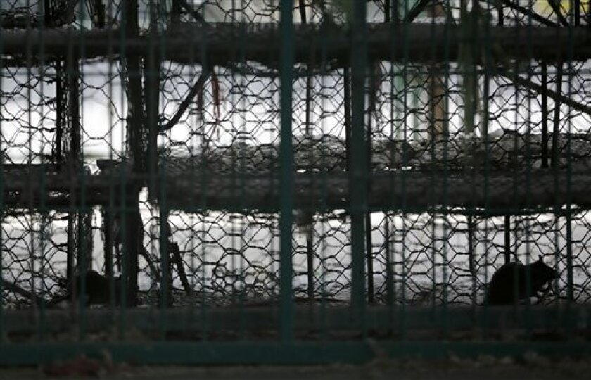 Rats infest the empty chicken cages at a live poultry wholesale market in Shanghai, China Wednesday, April 10, 2013. China says two more people have died of a new strain of bird flu, bringing the death toll to nine. Shanghai has suspended sales of live poultry. (AP Photo/Eugene Hoshiko)