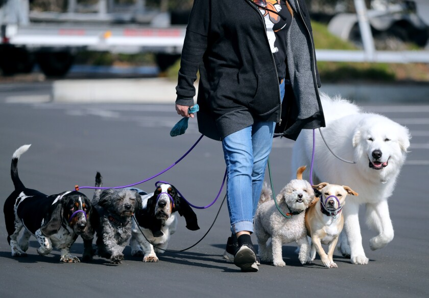 A person walks six dogs on leashes