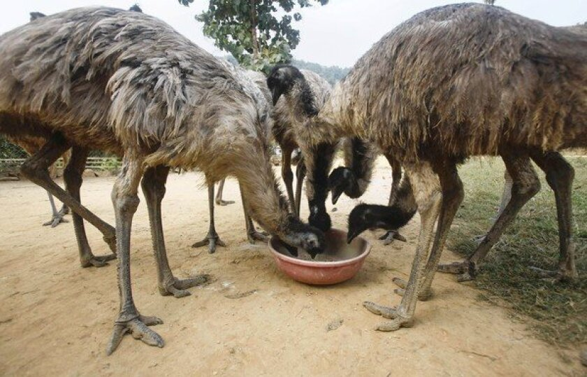 In India, emu scheme leaves behind distraught investors, birds