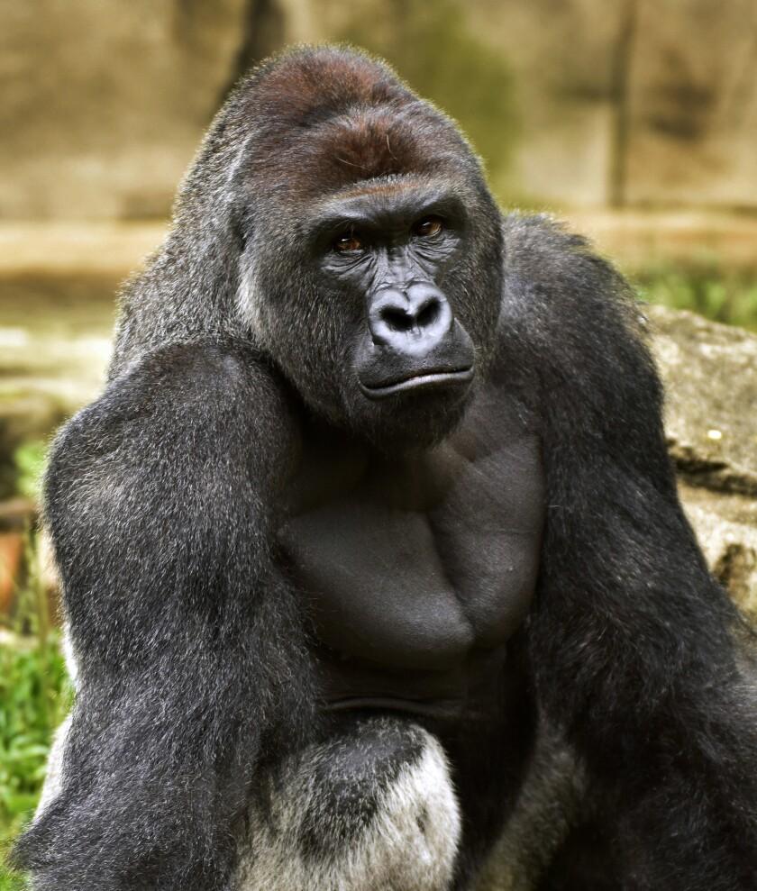 ARCHIVO - Esta fotografía de archivo del 20 de junio de 2015 proporcionada por el Zoológico y Jardín Botánico de Cincinnati muestra a Harambe, un gorila occidental de tierras bajas, que fue muerto a tiros el sábado 28 de mayo de 2016 para proteger a un niño de 3 años que ingresó al lugar donde él estaba. Cuando el corpulento animal tomó al pequeño, el francotirador que mató al simio no era de la policía, sino un miembro del personal del zoológico especialmente entrenado para emergencias con animales. (Jeff McCurry/Zoológico y Jardín Botánico de Cincinnati vía The Cincinatti Enquirer vía AP, archivo)