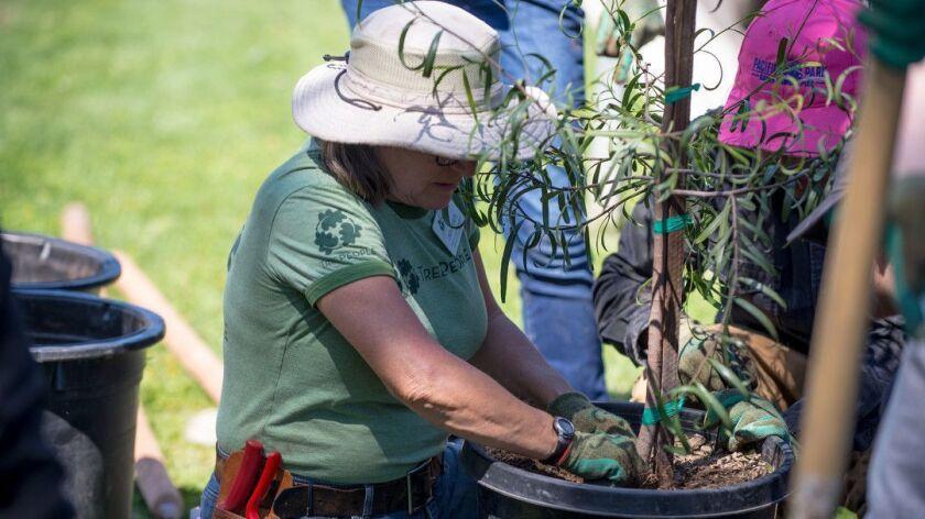 VAN NUYS, CA-- TreePeople's lead arborist, Linda Eremita, preparing a tree to come out of it's pot.
