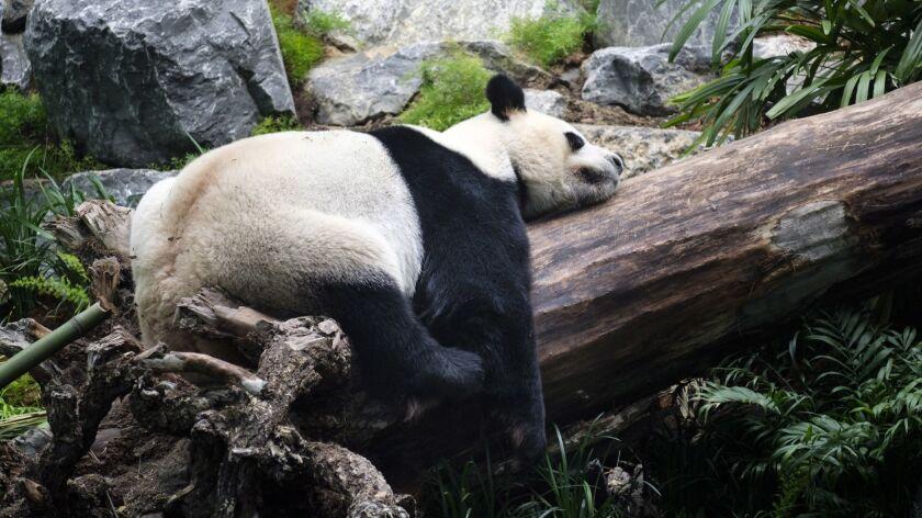 Da Mao, an adult male panda bear, sleeps as media photograph him at the Calgary Zoo during the openi