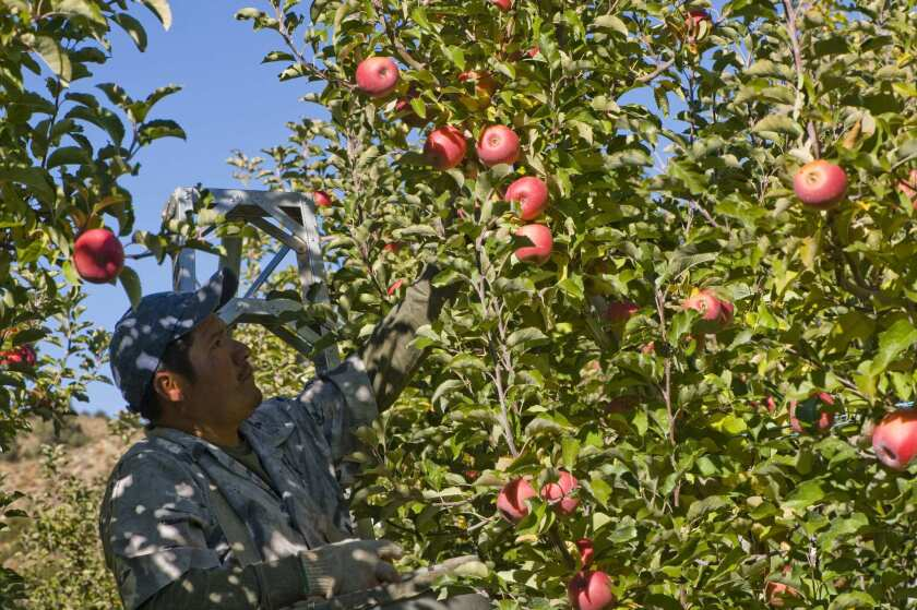 Harvesting Pink Lady apples at Cuyama Orchards.