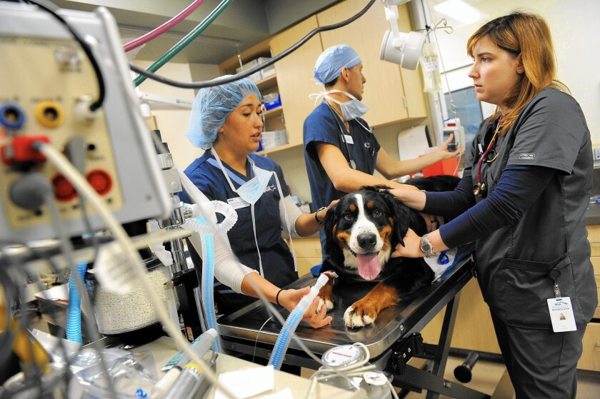 Veterinary assistants Cory Wakamatsu, left, and Talon McKee prep Coach, a year-old Bernese mountain dog, for surgery with Brynn Schmidt, lead anesthesia technician, right, at the VCA West Los Angeles Animal Hospital.