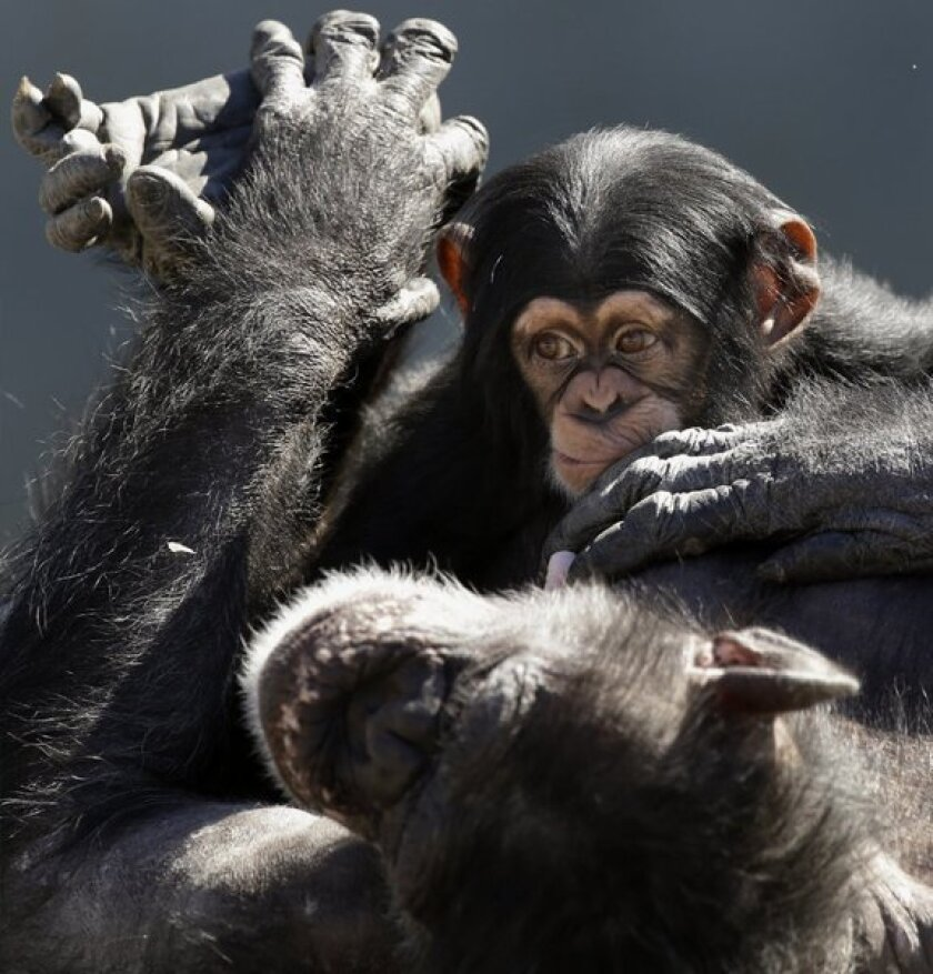 A mother chimp relaxes with her baby at Chimp Haven in Keithville, La. Chimpanzees are no longer considered crucial for most biomedical and behavioral research.