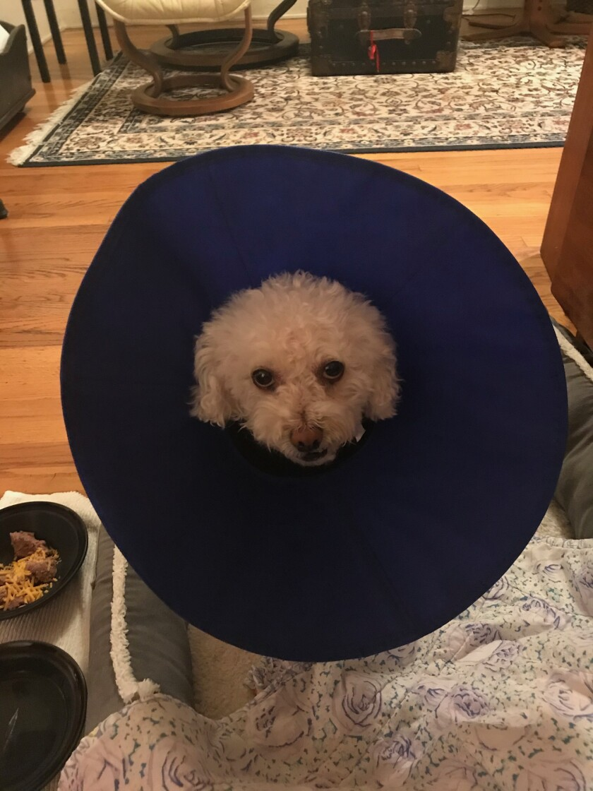 Lily was one unhappy dog after knee surgery.