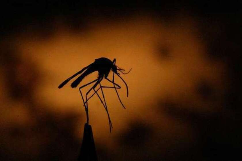 A mosquito is held by a pair of tweezers.