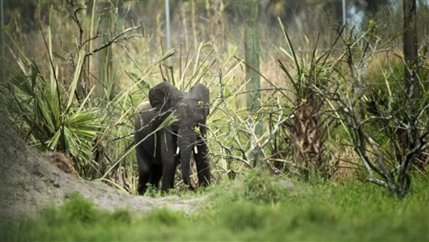 In this Sept. 4, 2013 photo, a young elephant makes its way through the remains of an old citrus farm near Fellsmere, Fla.  Four African elephants are now living on 200 acres in the heart of Florida's citrus grove region in the newly opened National Elephant Center. Officials at the center, quickly