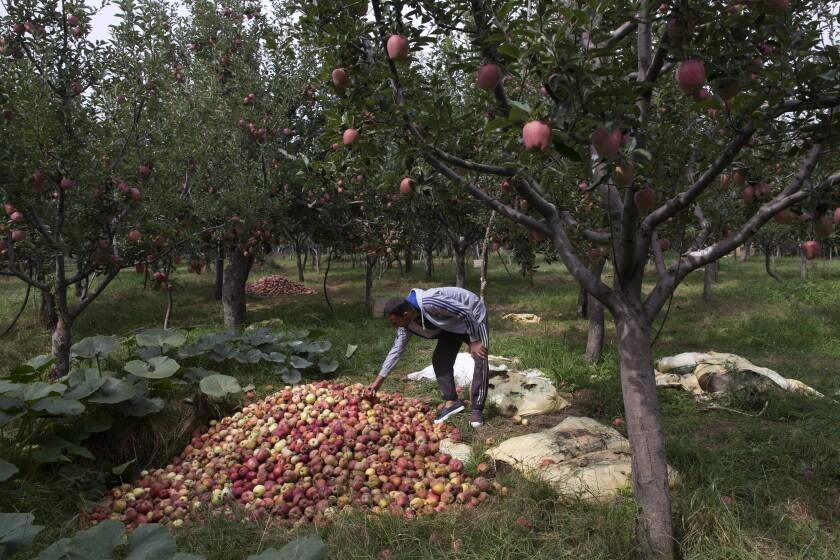 Kashmir's apple economy