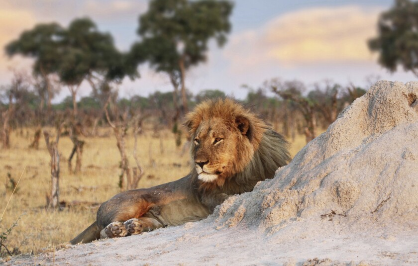 In this Nov. 26, 2013 photo Jericho the lion is seen relaxing by an ant hill in Hwange National Park, Zimbabwe.
