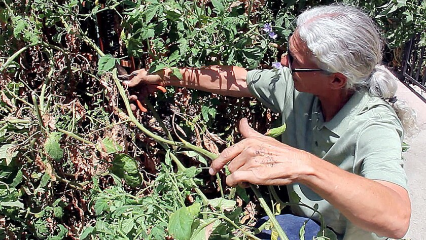 Why You Need To Stop Everything And Prune Your Tomato Plants Right Now Los Angeles Times,Best Color For Small Bedroom Walls