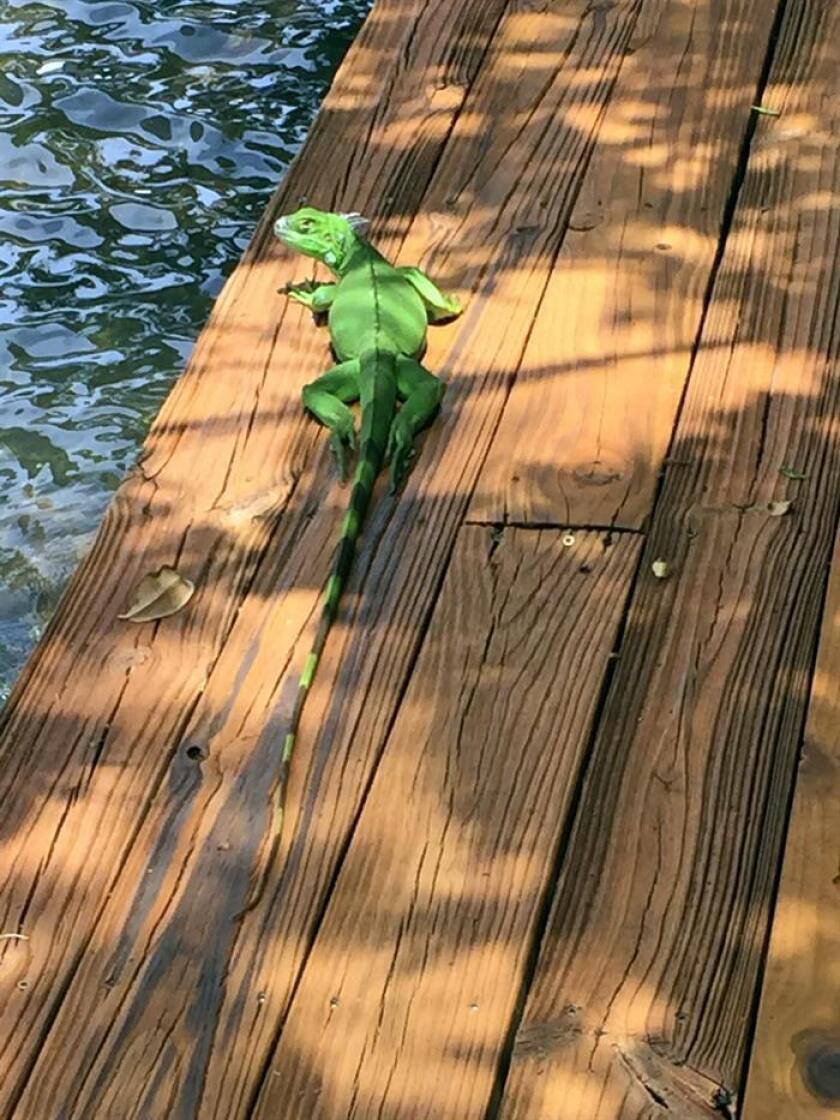 Fotografía de una iguana verde el 28 de diciembre de 2017, en un muelle de la Bahía de Vizcaya, en Miami, Florida (EE.UU.). La ola de frío que tiene a medio Estados Unidos tiritando es una ayuda en la ardua lucha contra especies animales invasoras que, como las iguanas verdes y las pitones birmanas, llegaron a Florida como mascotas y hoy son una plaga. EFE