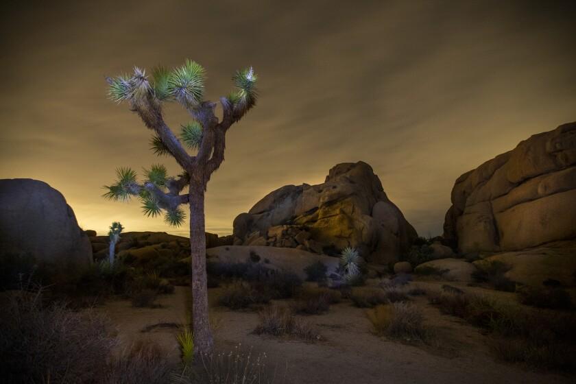 A Joshua tree in a rockey landscape