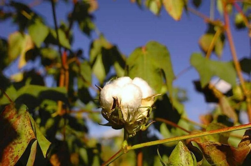 With 62 billion pounds of cotton cultivated annually, a move is afoot to lessen its effects on the Earth.